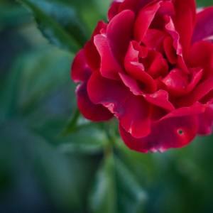 flowers8528